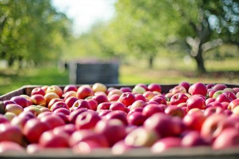 תפוחים במטע