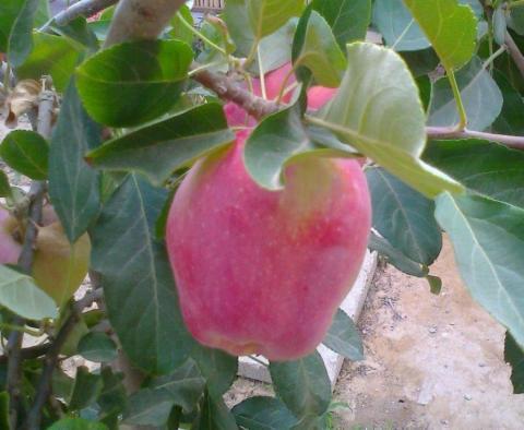 תפוח ענה