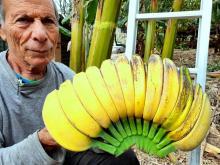 אשכון בננה היד המתפלדת