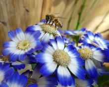 דבורה על פרח כחול לבן