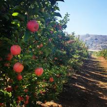 מטע תפוחים