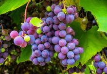 זני ענבים