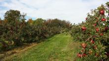 מטע תפוחים בישראל