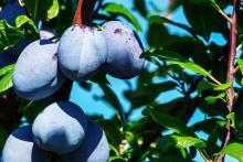 פירות על העץ