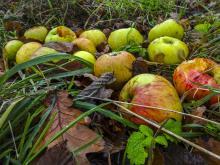 פירות שנפלו